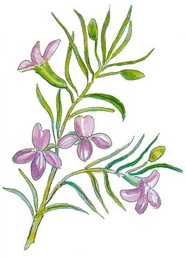 Flower of the Eremophila gilesii