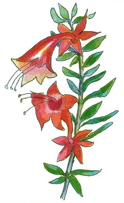 Flower of the Eremophila latrobi