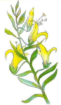 Flower of the Eremophila maculata aurea